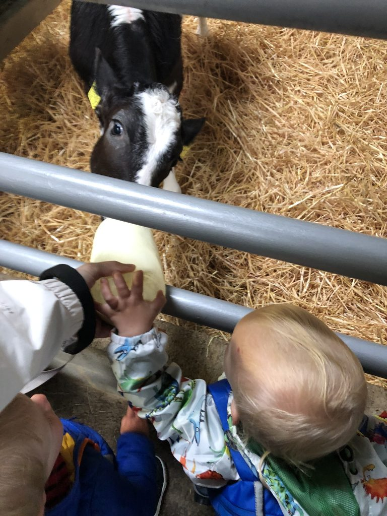 feeding the calfs