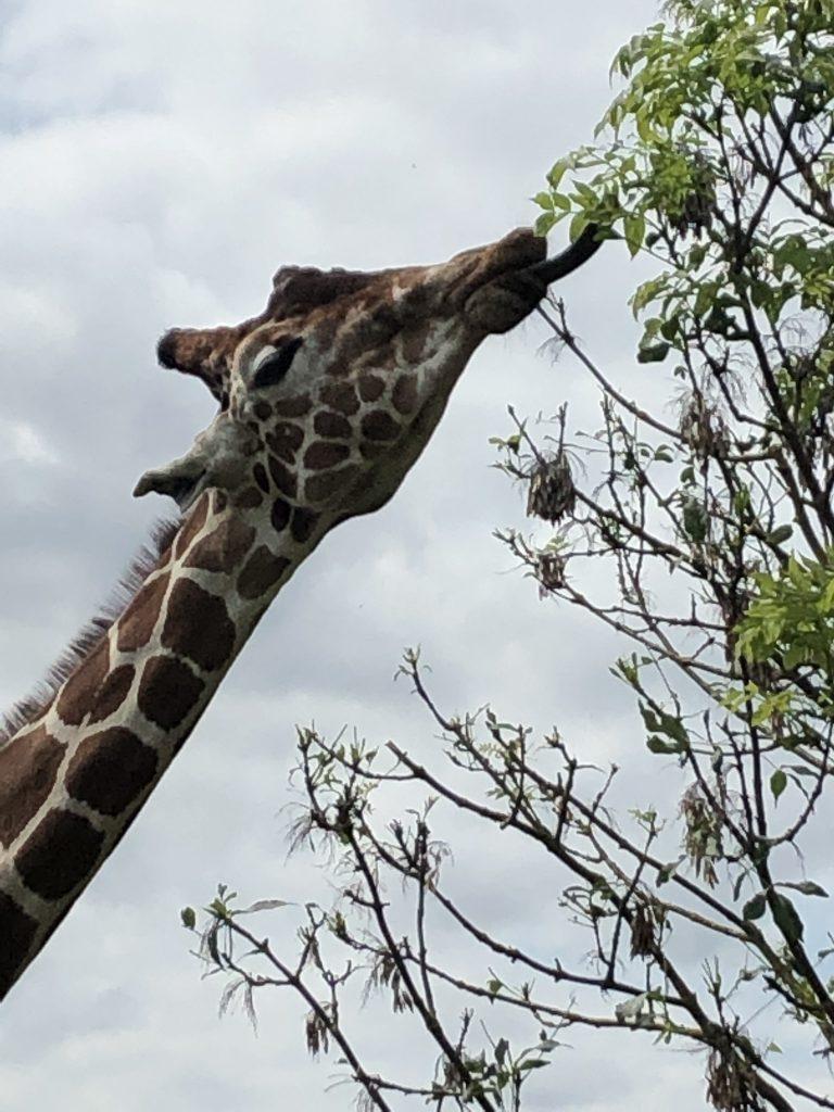 Giraffe close up at the Wildlife Park